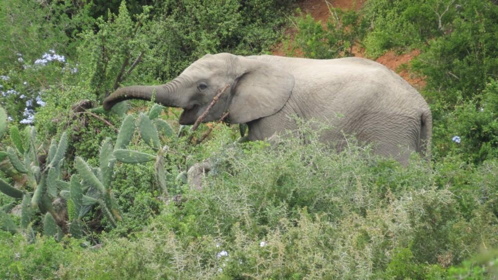 Kakteen fressende Elefanten - das ist neu für uns