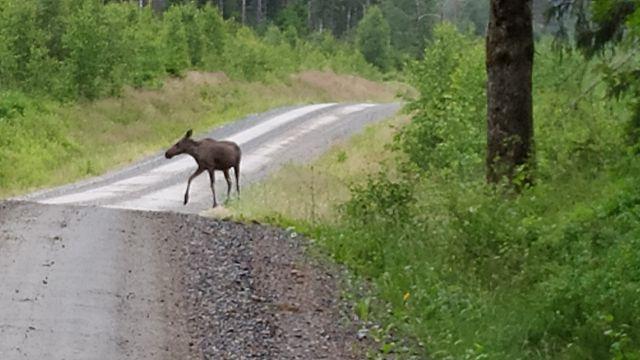 Unser erster schwedischer Elch