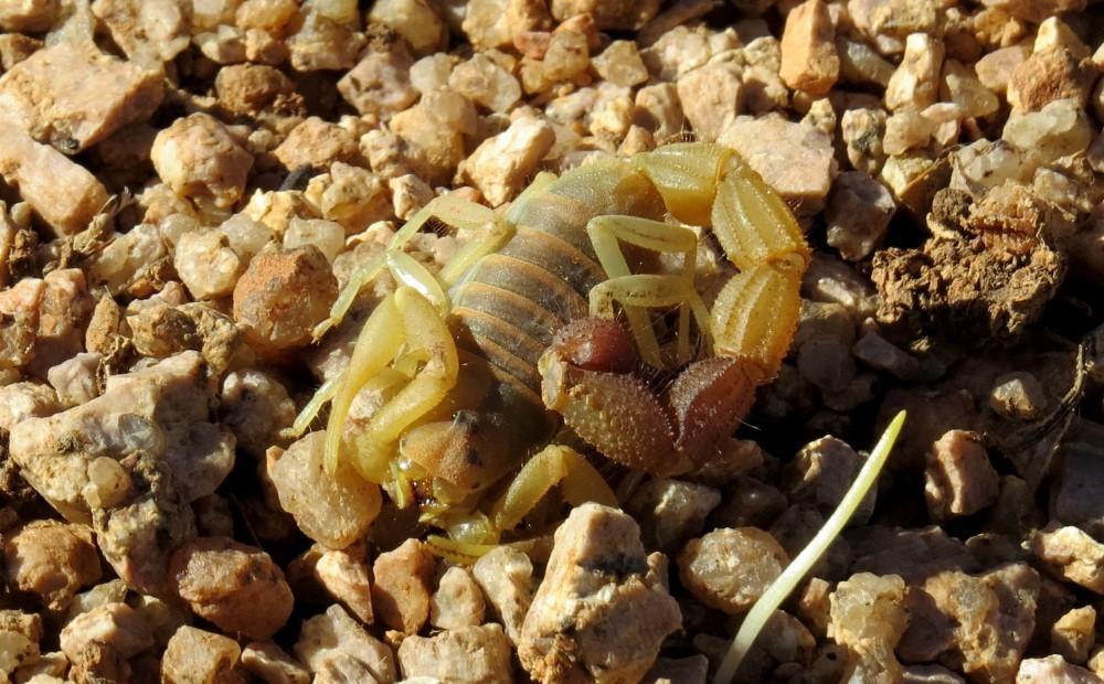 Unter einem Stein schläft der Skorpion...noch !