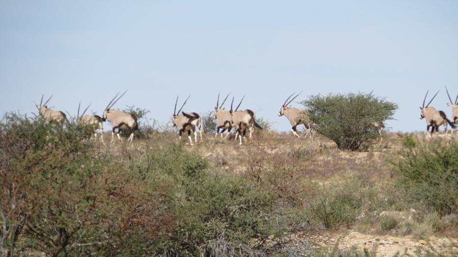 Oryx, leider auf der Flucht vor uns.