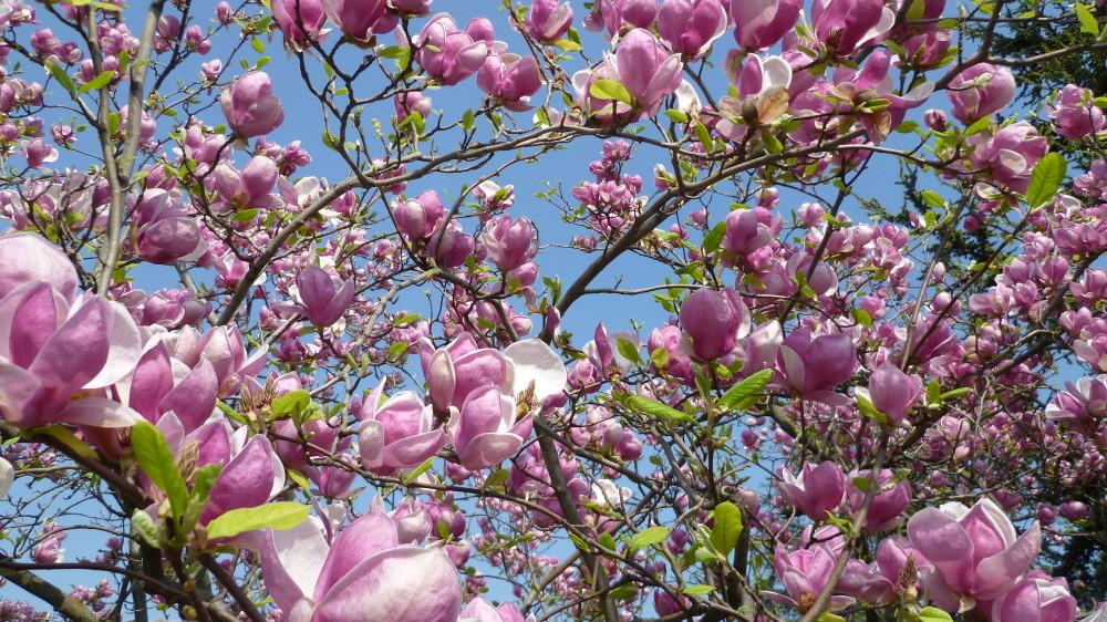 Magnolienblüte in Verona