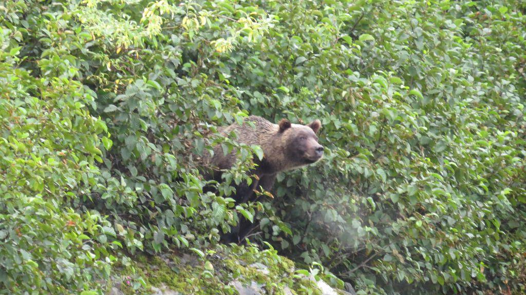 Der Grizzly kommt...