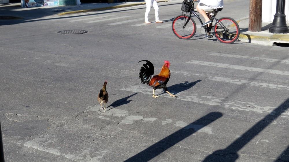 Chickens haben immer Vorfahrt