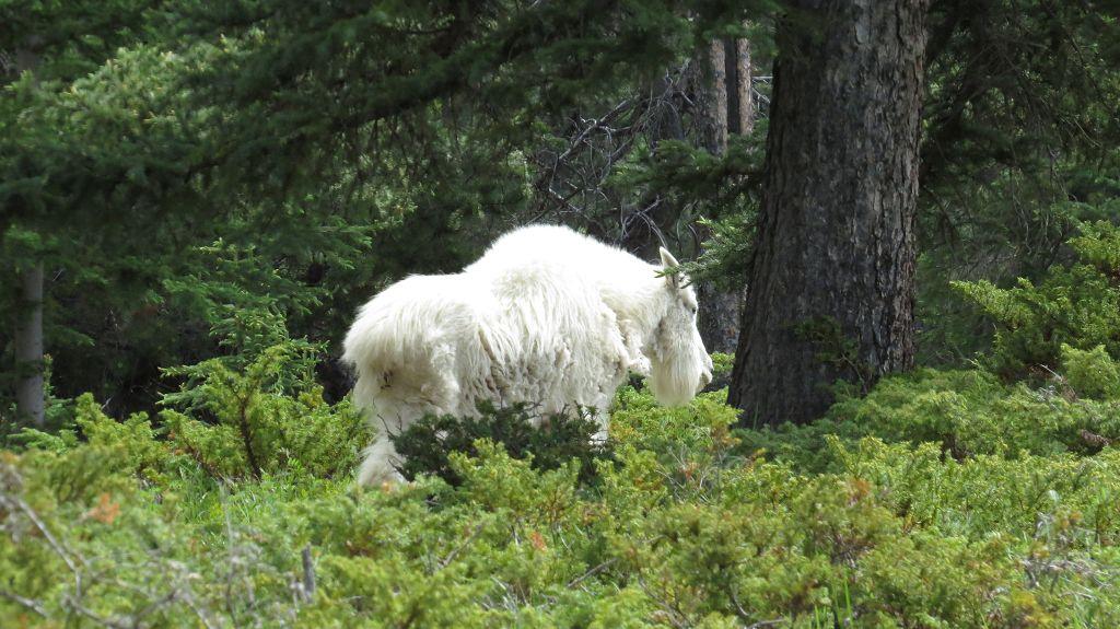 Mountain-Goat ganz nah