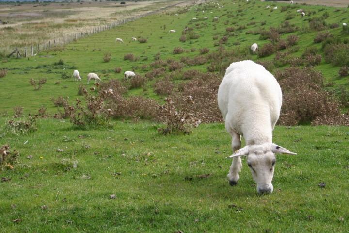 Schafe, Schafe, Schafe