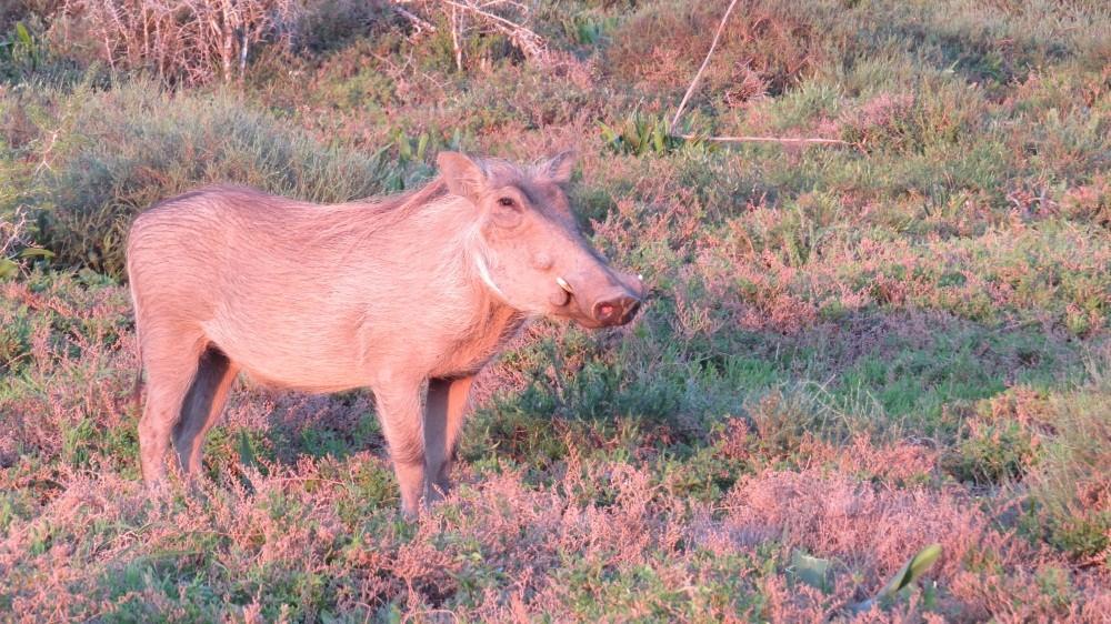 Tier gesichtet:  ein Warzenschwein