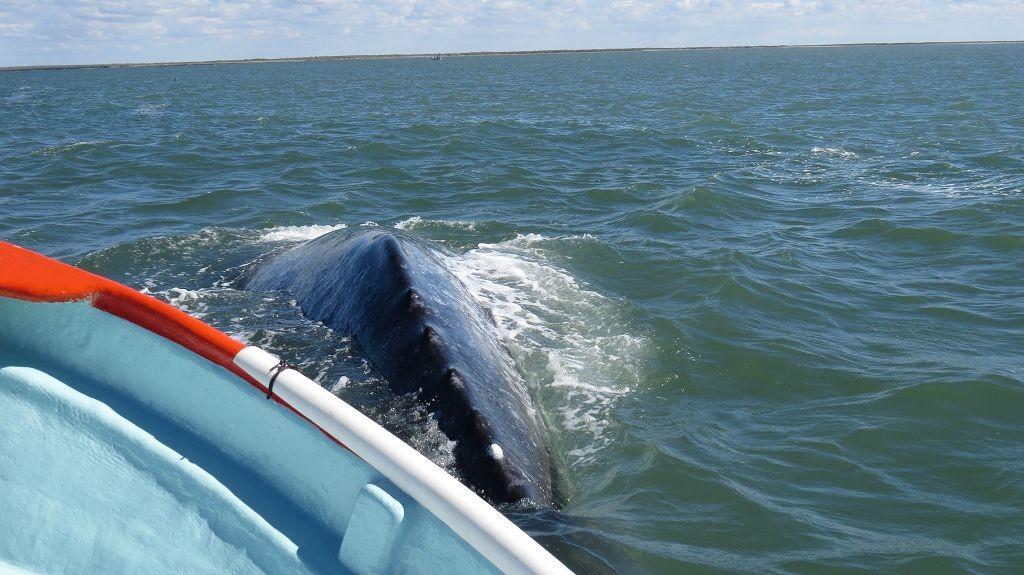 Wale in der Bucht bei Lopez Mateo