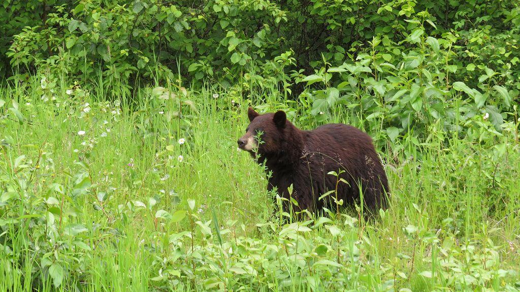 Die ersten Bären...hautnah
