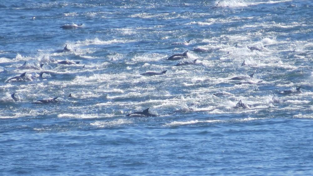 Delphine im indischen Ozean
