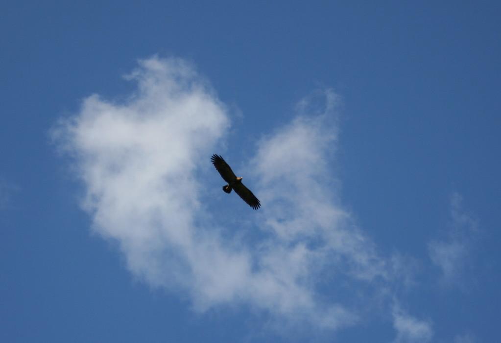 Adler (keine Geier!) kreisen über uns