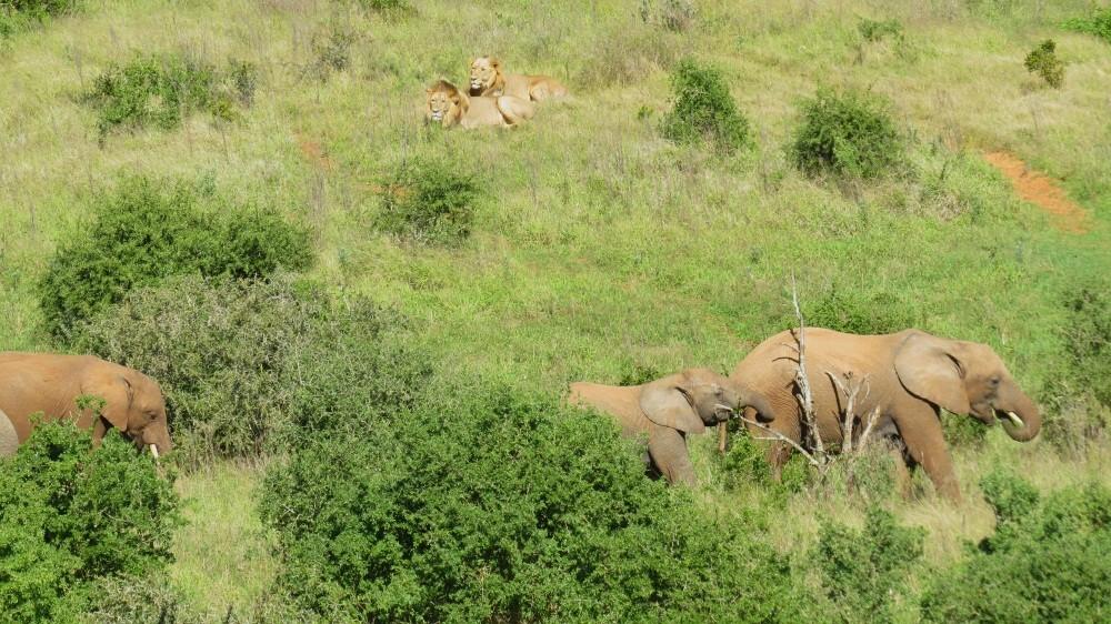 Elefant trifft Löwe...