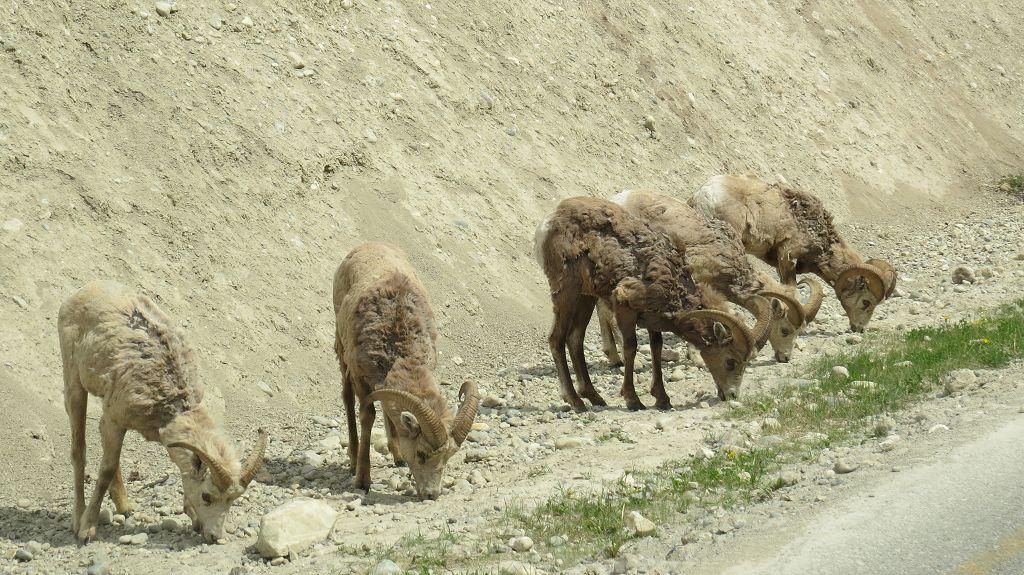 Bighorn-Sheep an der Straße