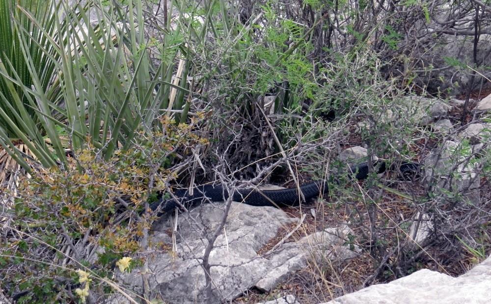 Schwarze Schlange im Gebüsch