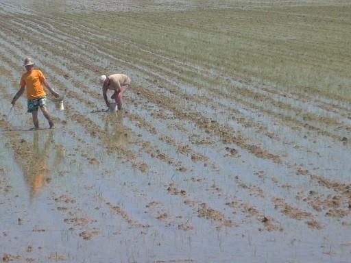 Mühsame Arbeit - Reispflanzen setzen