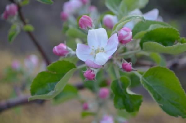 サンつがる 開花