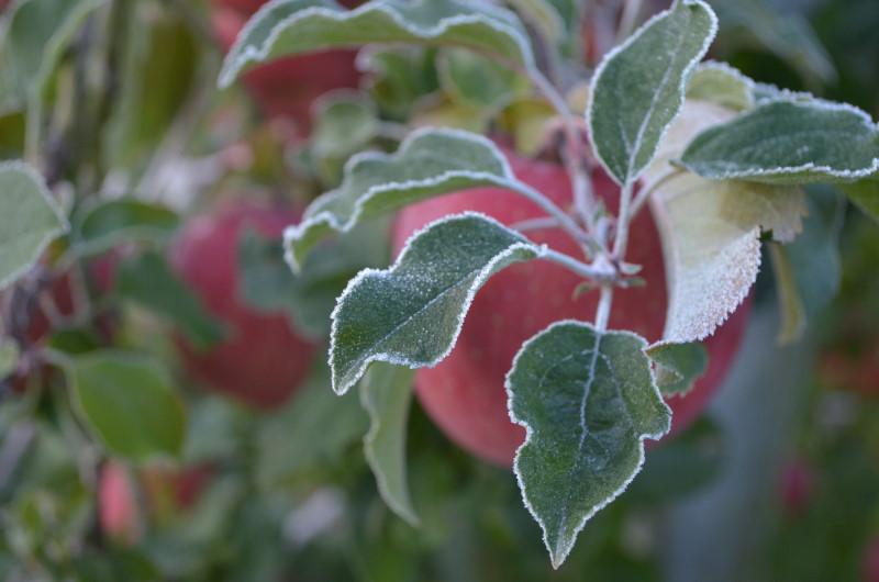 輪郭の霜が美しいりんごの葉