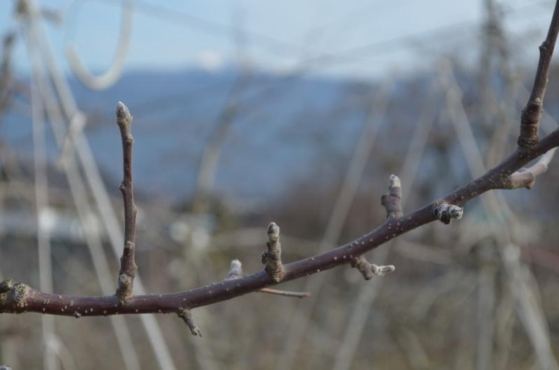 来年の収穫に向けて待つりんごの芽