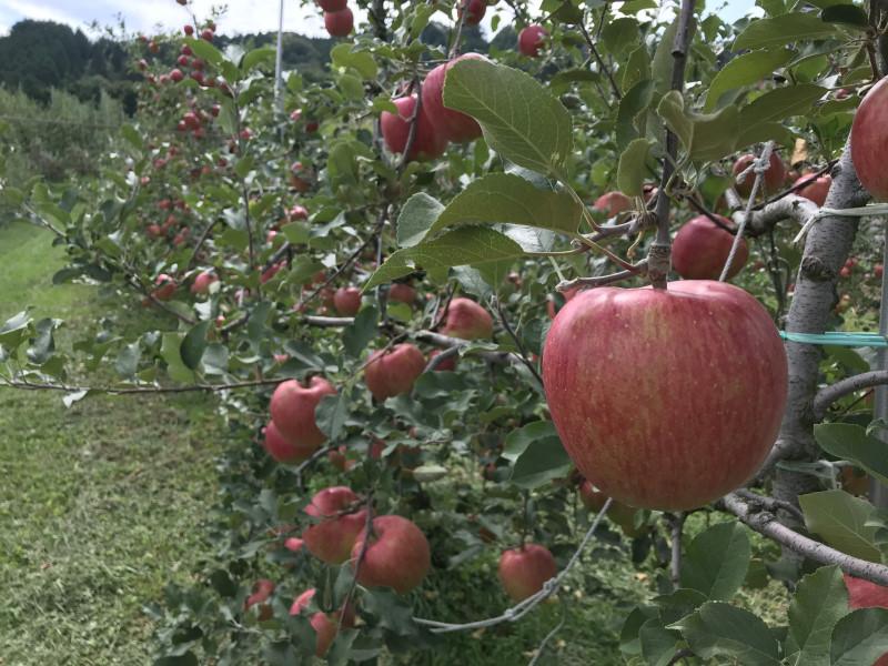 甘いりんごシナノスイート