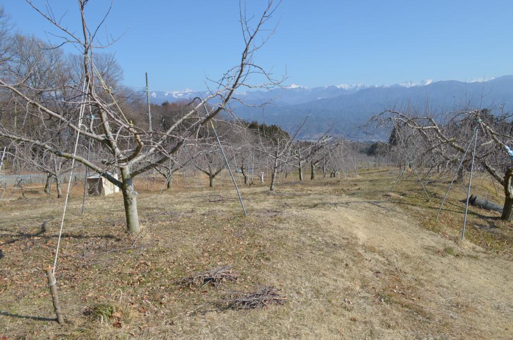 剪定された小枝が残る果樹園