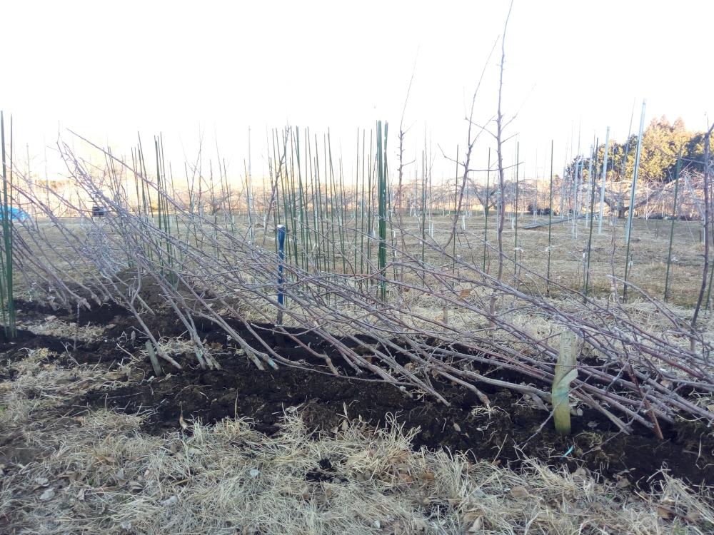 掘り出した苗木は定植(本植え)まで仮植えして待ちます。