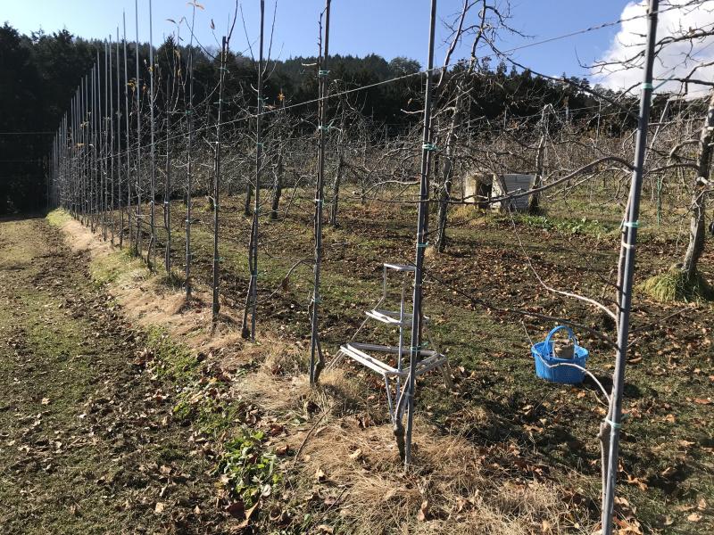 暖かい果樹園で剪定作業を始めました。