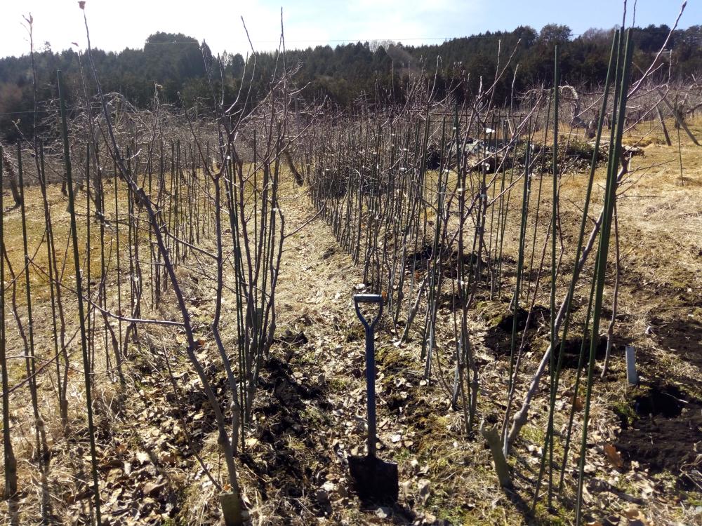 苗木畑で大きく育った苗木を掘りだします。