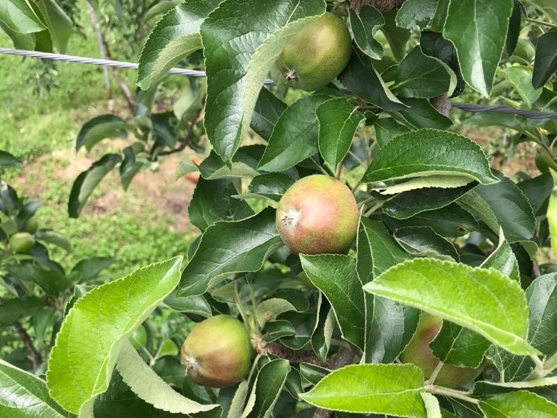 仕上げ摘果中の秋映