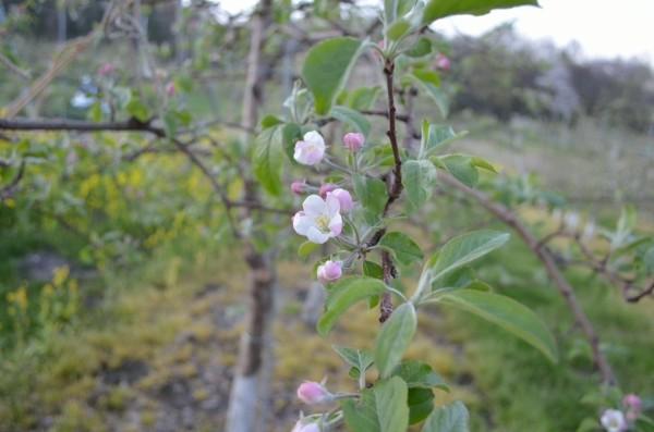 シナノドルチェ 開花