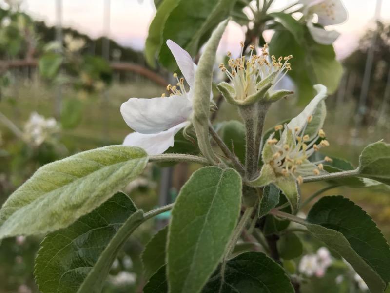 花弁が散りガクが上に向かって上がり始めたシナノホッペ