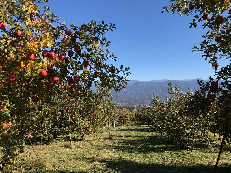紅葉と収穫を待つサンふじ
