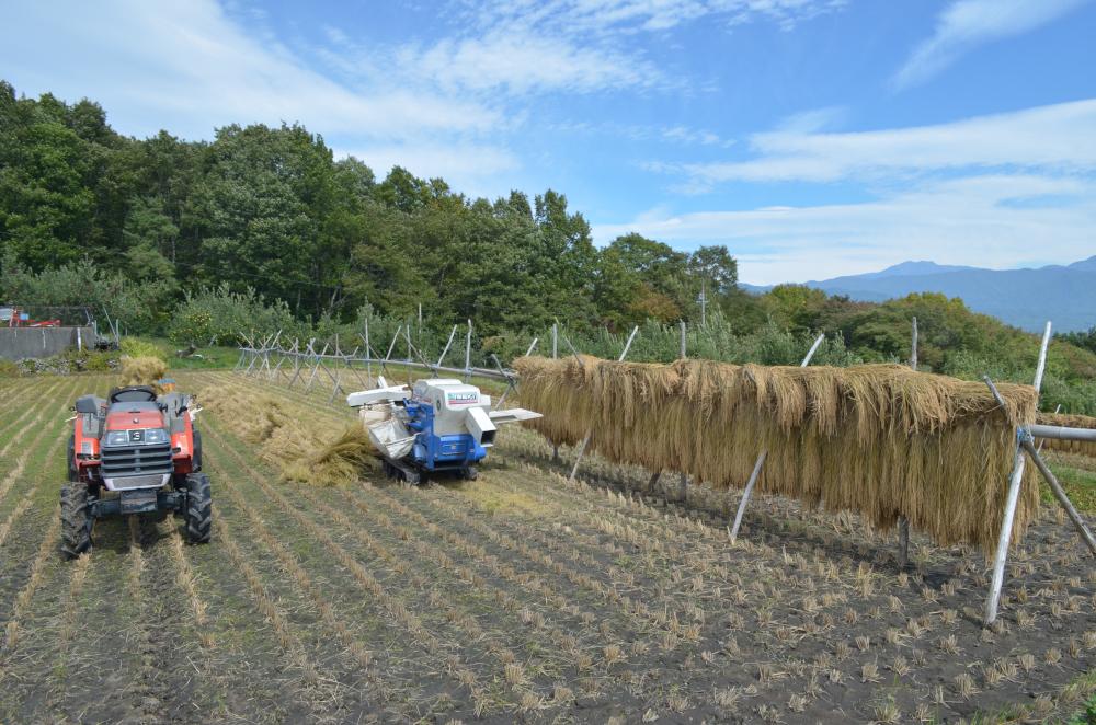脱穀機で稲からモミをとる脱穀作業中