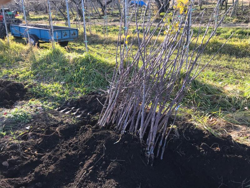 掘り上げた苗木は植え付けまで仮置きします