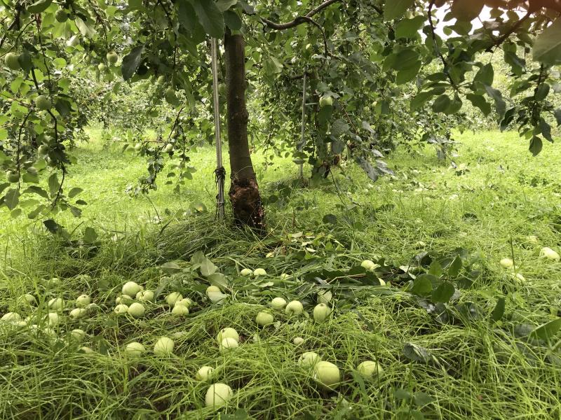 木の下には摘花された果実が広がってます