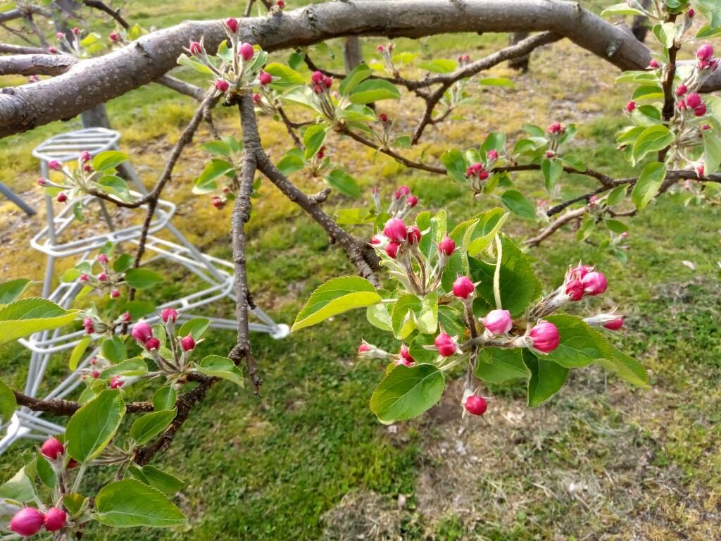 摘花前の王林