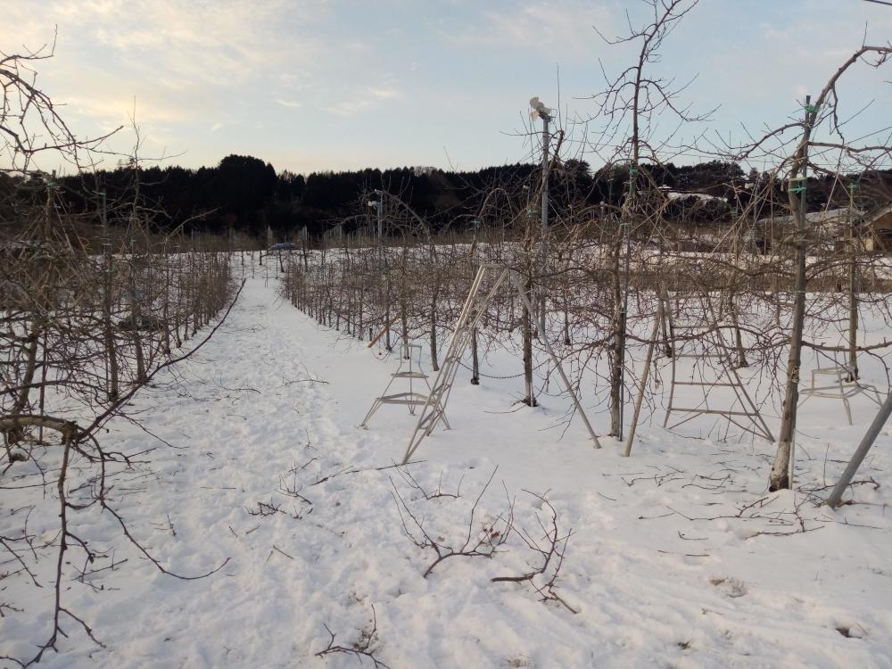 雪が少ない厳寒の果樹園