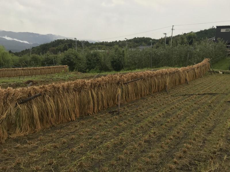 ハザが奥方向に傾いたので、稲が地面に接しています。
