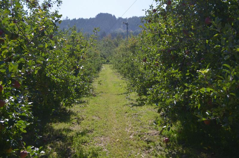 赤い果実が少ないサンふじの畑