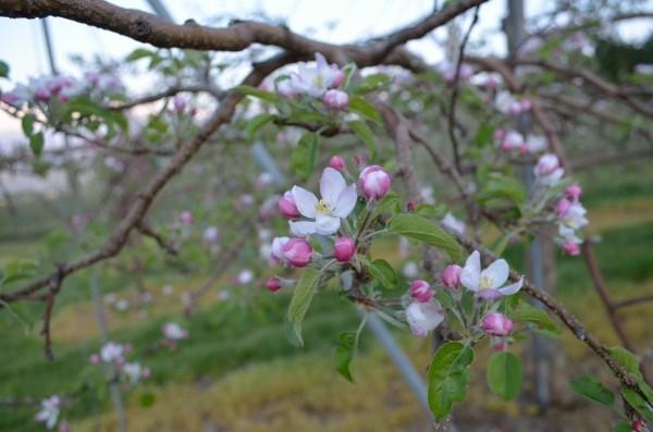 王林 中心花が咲きそろいました
