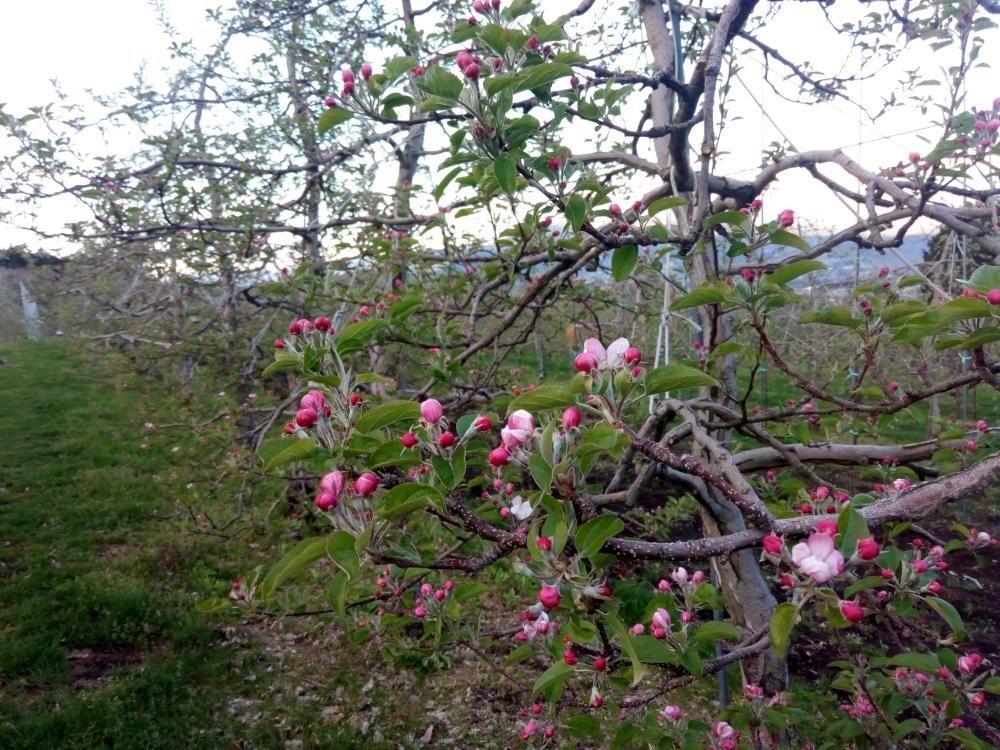 4月18日王林が開花しました