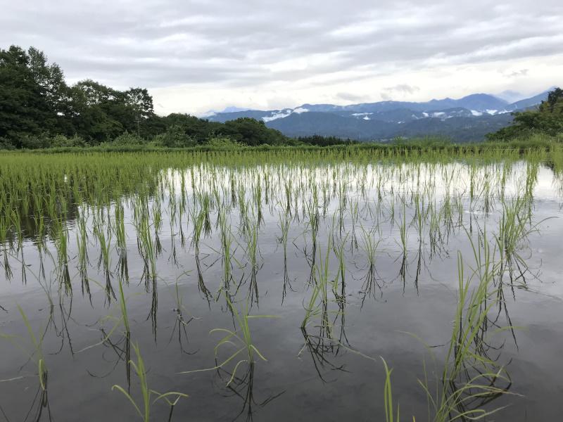 水田では稲が順調に育ち始めました