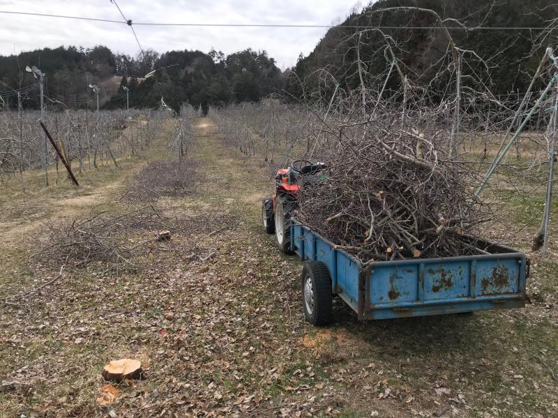 荷台いっぱいに伐採したりんごの枝を回収しています。