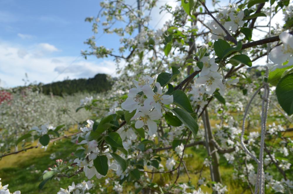 25日サンふじは中心花の落花が始まりました
