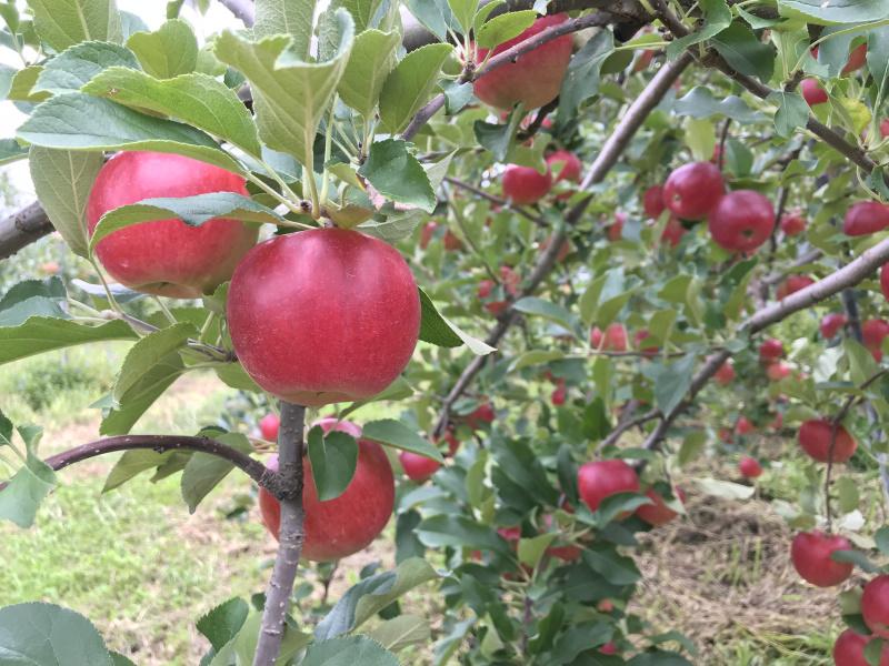 小玉の丸かじりリンゴのシナノプッチ