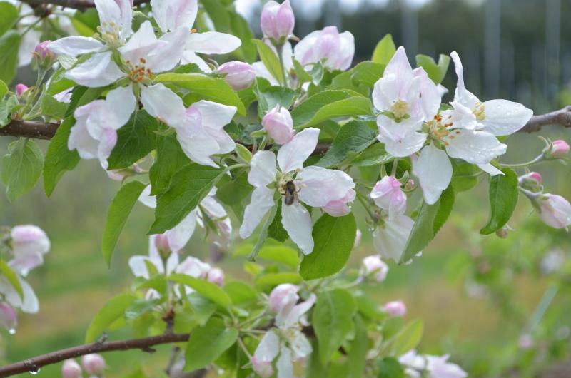 マメコバチ が訪花授粉している恋空
