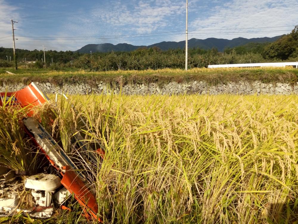 稲刈り開始です