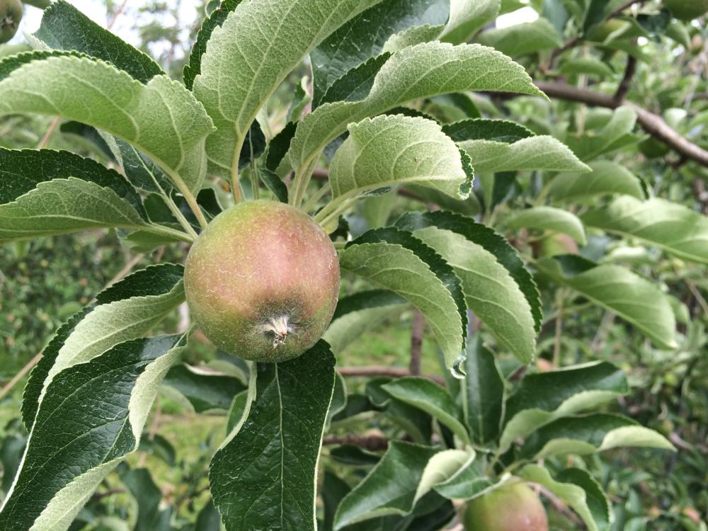 秋映 正常な果実です。残します。