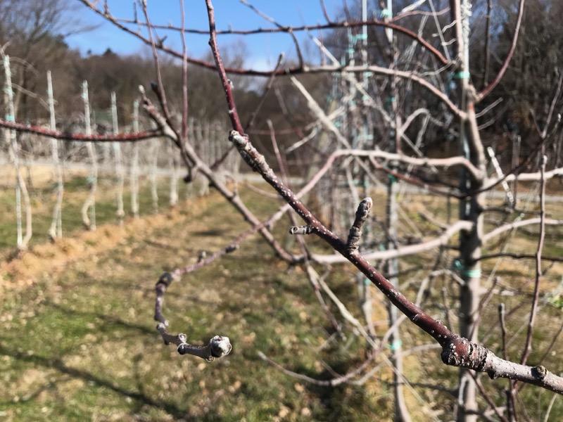 剪定を進めるりんごの木