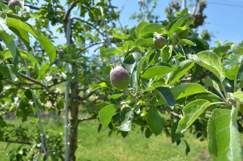 シナノレッドは胡桃ほどの大きさに育ちました