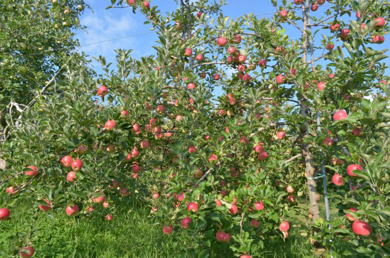 小玉のリンゴシナノプッチ