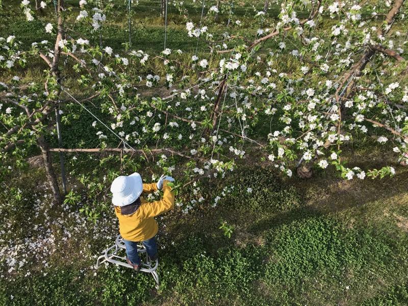 シナノレッド の摘花作業中